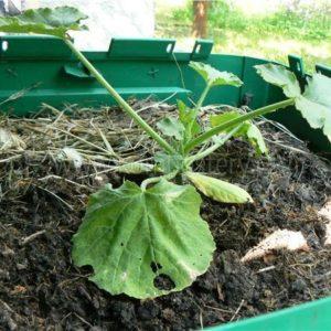 Cukety pěstované přímo v kompostéru